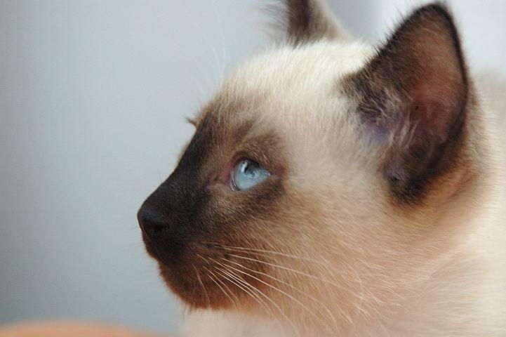 Miaupl Zobacz Wątek Pytanie O Koty Syjamskie